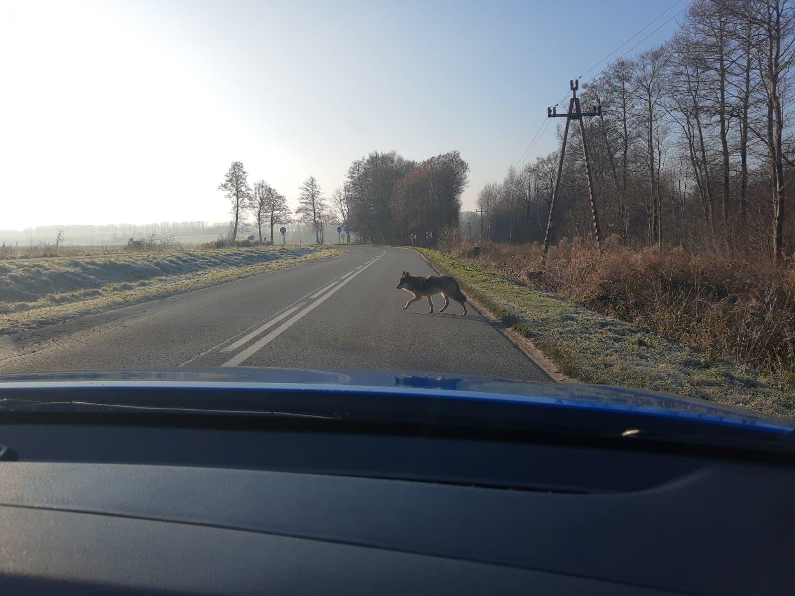 Wilki w gminie Puck. Okazały zwierz na drodze między Łebczem a Starzyńskim Dworem. Gdzie są wilki w gminie Puck?   ZDJĘCIA
