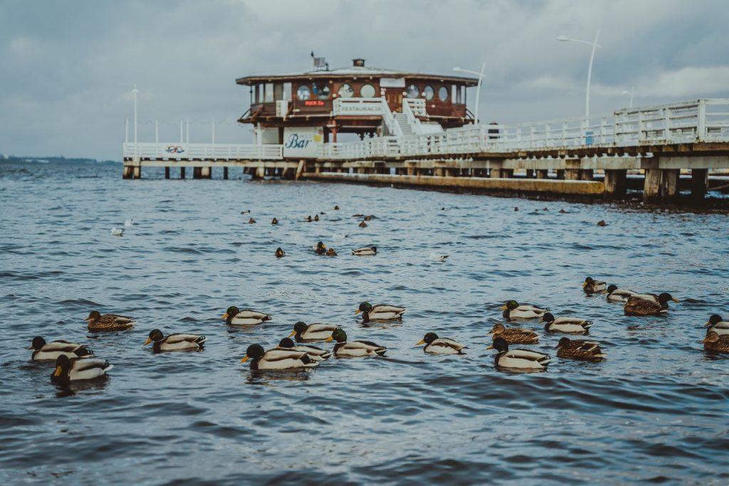 kaczki zatoka pucka zima 2021